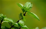 Title:Green mint leaves macro-2016 High Quality Wallpaper Views:1398