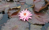 Title:Lily pink leaves water swamp-Flowers photography wallpaper Views:1401