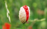 Title:Poppy flower red bud-Flowers photography wallpaper Views:1270