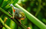 Title:Silver eared Leiothrix cute bird themed wallpaper Views:2251