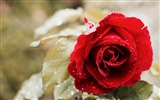 Title:Beautiful red rose macro-2016 High Quality HD Wallpaper Views:1412