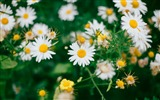 Title:Daisies flowers field-2016 High Quality Wallpaper Views:825