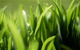 Title:Grass green close-up-Plants Macro HD Wallpaper Views:655
