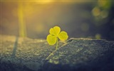 Title:Green clover sunlight-Plants Macro HD Wallpaper Views:608