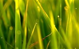 Title:Green grass sunlight-Plants Macro HD Wallpaper Views:511