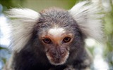 Title:Western cape south africa monkey-Animal High Quality Wallpaper Views:465