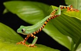 Title:A long green frog-Animal High Quality Wallpaper Views:1465