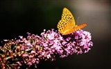 Title:Butterfly insects flowers garden-Animal High Quality Wallpaper Views:1527