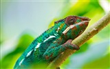 Title:Colorful chameleon macro-2016 High Quality HD Wallpaper Views:990