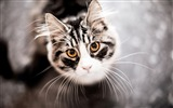 Title:Cute gray cat eyes-Animal High Quality Wallpaper Views:1382