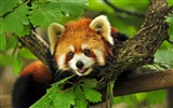 Title:Cute red panda forest-2016 High Quality Wallpaper Views:861