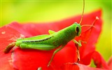 Title:Grasshopper red insects-Animal High Quality Wallpaper Views:1132