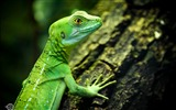 Title:Lizard close-up reptiles-Animal High Quality Wallpaper Views:1080