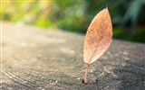 Title:Lonely leaf macro bokeh-HD Retina Wallpaper Views:993