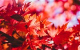 Title:Red foliage autumn-2016 High Quality Wallpaper Views:1087