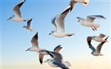 Title:Sky seagulls-Animal High Quality Wallpaper Views:1286