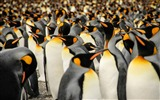 Title:South georgia king penguins-Animal High Quality Wallpaper Views:1345