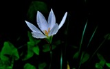 Title:Zephyranthes Candida Flower Macro Photo Wallpaper 01 Views:450