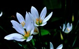 Title:Zephyranthes Candida Flower Macro Photo Wallpaper 02 Views:472