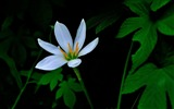 Title:Zephyranthes Candida Flower Macro Photo Wallpaper 03 Views:546