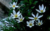 Title:Zephyranthes Candida Flower Macro Photo Wallpaper 04 Views:536
