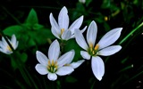 Title:Zephyranthes Candida Flower Macro Photo Wallpaper 05 Views:498