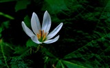 Title:Zephyranthes Candida Flower Macro Photo Wallpaper 06 Views:485