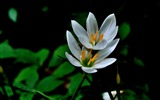 Title:Zephyranthes Candida Flower Macro Photo Wallpaper 07 Views:503