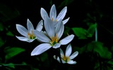 Title:Zephyranthes Candida Flower Macro Photo Wallpaper 08 Views:457