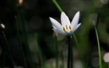 Title:Zephyranthes Candida Flower Macro Photo Wallpaper 09 Views:461