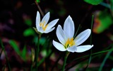 Title:Zephyranthes Candida Flower Macro Photo Wallpaper 14 Views:489