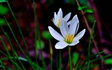 Title:Zephyranthes Candida Flower Macro Photo Wallpaper 15 Views:492