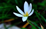 Title:Zephyranthes Candida Flower Macro Photo Theme Wallpaper Views:1038
