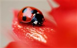 Title:ladybird red beetle flower-Animal High Quality Wallpaper Views:1437