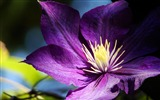 Title:Clematis flowers buds petals-Flowers Photo HD Wallpaper Views:314