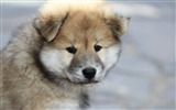 Title:Eurasier puppy dog-2016 Animal High Quality Wallpaper Views:1119