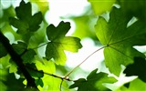 Title:Green leaves sunshine-2016 High Quality HD Wallpaper Views:206