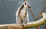 Title:Lemur reserve sitting-2016 Animal High Quality Wallpaper Views:851