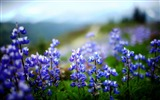 Title:Lupines flowers herbs sharpness-Flowers Photo HD Wallpaper Views:251