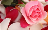 Title:Pink rose beautiful-Flowers Photo HD Wallpaper Views:256