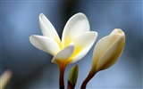 Title:Plumeria flower bud close-up-Flowers Photo HD Wallpaper Views:252