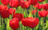 Title:Red tulips close-up-Flowers Photo HD Wallpaper Views:329