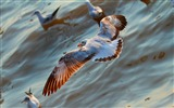 Title:Seagulls birds flying sea-2016 Animal High Quality Wallpaper Views:379