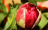 Title:Tulip bud flower petals-Flowers Photo HD Wallpaper Views:224