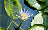 Title:Water lily water leaves-Flowers Photo HD Wallpaper Views:383