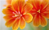 Title:yellow lewisia flowers-High Quality HD Wallpaper Views:427
