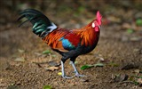 Title:A brown leghorn rooster-2017 Bing Desktop Wallpaper Views:609