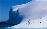 Title:Antarctic continent penguin animal wallpaper 04 Views:588