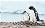 Title:Antarctic continent penguin animal wallpaper 05 Views:571