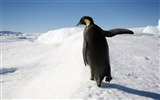 Title:Antarctic continent penguin animal wallpaper 07 Views:617